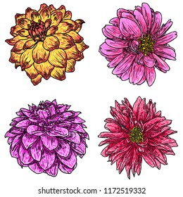 Dahlias set. Botanical vintage ink illustration. Collection of hand drawn flowers and herbs isolate on white background. Black and color florist elements.