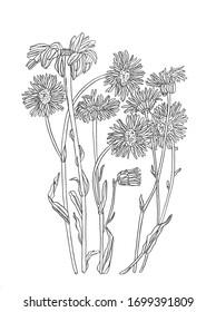 Daisy flower drawing. hand drawn engraved floral set. Chamomile black ink sketch. Wild botanical garden bloom.