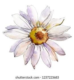 Daisy flower. Floral botanical flower. Isolated daisy illustration element. Wild spring leaf wildflower isolated. Watercolor background illustration set.