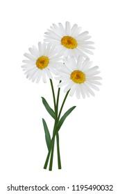 Daisy flowers isolated on white background. Chamomile blossom illustration