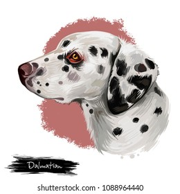 Dalmatian, Carriage Dog, Spotted Coach Dog, Firehouse Dog digital art illustration isolated on white background. Croatian origin companion dog. Cute pet hand drawn portrait. Graphic clip art design