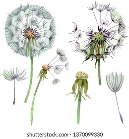 Dandelion blowball with seeds. Watercolor background illustration set. Watercolour drawing fashion aquarelle isolated. Isolated plant illustration element.