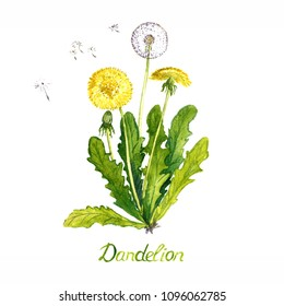 Dandelion (Taraxacum officinale) plant with flowers, seed head and buds, isolated on white background hand painted watercolor illustration with inscription