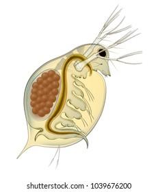 Daphnia planktonic crustaceans