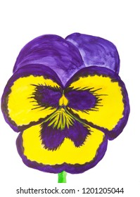 Dark blue and yellow pansy on white background, watercolor.