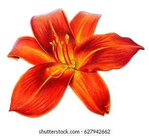 Day lily flower orange drawing (Hemerocallis)