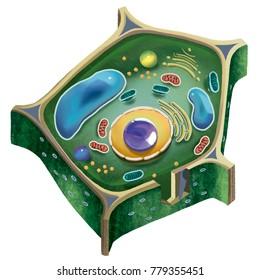 Ilustración de una Célula Vegetal en fondo blanco