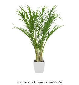 Decorative Areca Palm tree isolated on white background. 3D Rendering, Illustration.