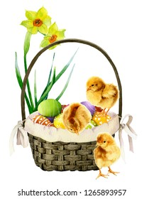 Decorative basket with colorful decorated eggs, three chickens and daffodils (yellow narcissi) in the background hand drawn in watercolor isolated on a white background. Wonderful Easter arrangement