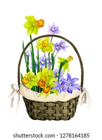 Decorative basket with colorful primrose flowers: daffodils (yellow narcissi), bluebells and light blue flowers hand drawn in watercolor isolated on a white background. Wonderful Easter arrangement