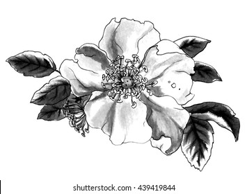Decorative briar wild rose flower in blossom isolated on white background. Hand drawn watercolor botanical black and white monochrome illustration for wedding printing, card invitation. Japanese style