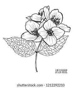 Decorative jasmine  flowers, design elements. Can be used for cards, invitations, banners, posters, print design. Floral background in line art style