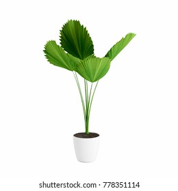 Decorative Licuala palm plant planted white ceramic pot isolated on white background. 3D Rendering, Illustration.