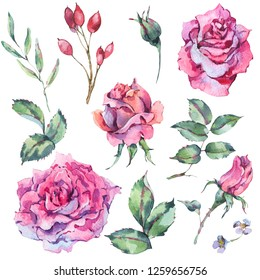 Decorative vintage watercolor set of pink roses, Natural collection with flowers, berries, leaf and buds, botanical floral illustration isolated on white background