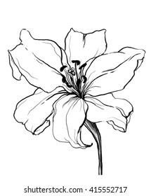 Decorative white Lily flower in blossom isolated white background. Hand drawn watercolor botanical black and white monochrome illustration for wedding printing product, card, invitation Japanese style