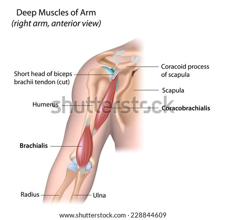 Deep Muscle Arm Labeled Stock Illustration 228844609 - Shutterstock