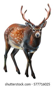Deer spotted realistic drawing (Cervus nippon)