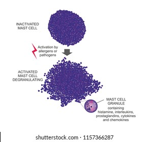 The degranulation is an inflammatory process in mast cells. Antigen interaction with IgE molecules on the cell membrane triggers cells to release mediators such as histamine.
