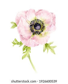 A delicate anemone flower. Pink spring flower. Watercolour illustration.