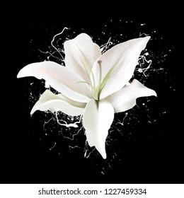 Delicate beautiful white Lily close - up on a black background, with splashes of paint. Light airy exquisite artistic image of nature. A gentle breath of nature and a delicious delicate fragrance