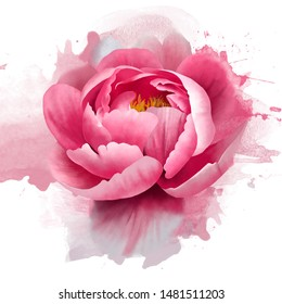 Delicate pink peony with splashes of paint on a white background. Close up. Romantic soft gentle artistic image. Floral background