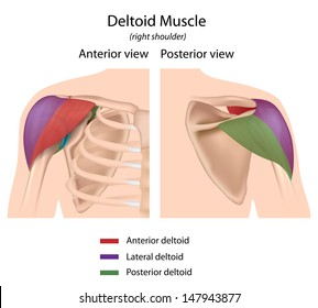 Deltoid muscle, color coded