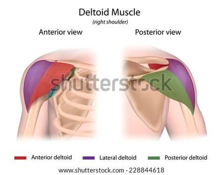 Deltoid Muscle Color Coded Front Back Stock Illustration 228844618