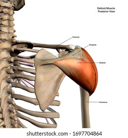 Deltoid Muscle Isolated in Posterior View Human Anatomy on White Background, 3D Rendering