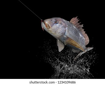 Dentex snapper fish in black background with splashes hooked by slow jigging inchiku 3d render