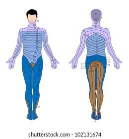 Peripheral Nervous System Images, Stock Photos & Vectors ... on