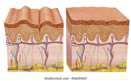 descriptive illustration of the skin, when young and when it is aging. the skin,