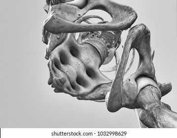 Detail of the pelvis and the coccyx, human skeleton. Medically accurate 3D illustration.