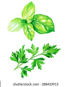 detailed botanical drawing of a parsley and basil leaver. Watercolor beautiful illustration of culinary herbs used for cooking and garnish.