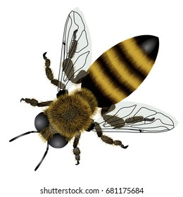 Detailed drawing of bee