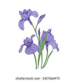 Detailed drawing of spring iris flowers and buds. Seasonal beautiful garden flowering plant isolated on white background. Natural hand drawn realistic illustration in elegant vintage style