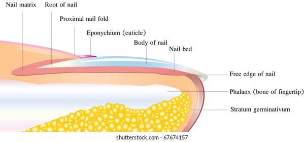 Detailed nail anatomy on a white background