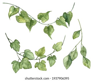 Detailed realistic ivy leaves isolated on white background. Watercolor hand painted botany. Green stem set