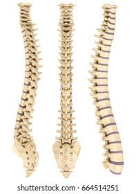 Detailed spine with Intervertebral discs , 3D illustration