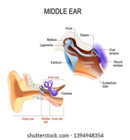 diagram of the anatomy of the human ear. Three ossicles: malleus, incus, and stapes (hammer, anvil, and stirrup). The ossicles directly couple sound energy from the ear drum to the oval window