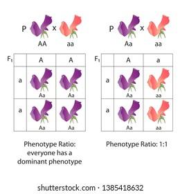 Diagram of dominance of peas flowers. Phenotype ratio