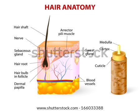 Diagram Hair Follicle Cross Section Skin Stock Illustration