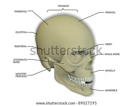 diagram human skull 450w 89027195 diagram human skull stock illustration royalty free stock