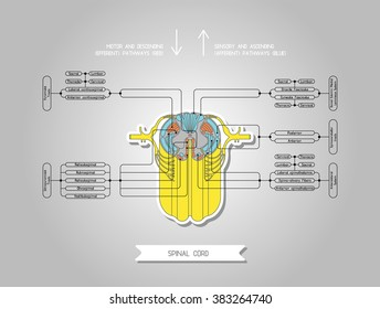 Diagram illustrating the structure of the spinal cord. Human spinal cord. Medical illustration