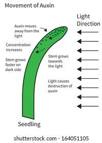 Diagram showing movement of auxin through seedling stem.