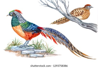 Diamond pheasant, male and female, watercolor painting on white isolated background. Hybrid of pheasants Chrysolophus amherstiae and Chrysolophus pictus.