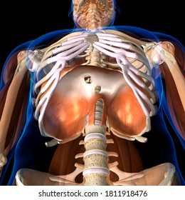 The Diaphragm Muscle in Isolation Human Anatomy 3D Rendering Low Angle View