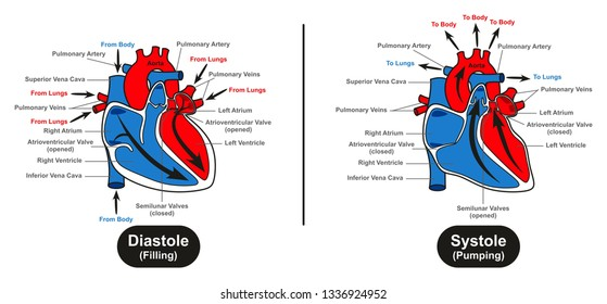 Diastole and Systole of Human Heart infographic diagram showing how blood fill it and how heart pump it to the lungs and body for medical science and anatomy education
