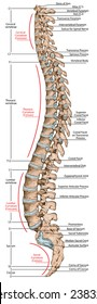 didactic board, anatomy of human bony system