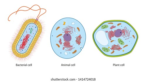 Difference between bacteria, animal and plant cells