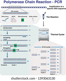 The different stages and cycles of DNA molecule amplification by Polymerase Chain Reaction, PCR, in a thermal cycler
